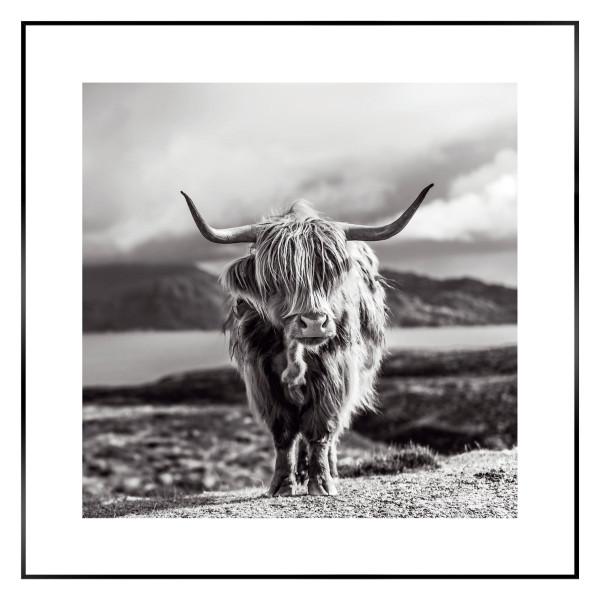 Bild HIGHLAND COW